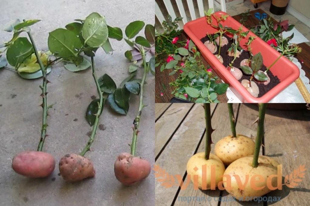 Как укоренить розу в картошке