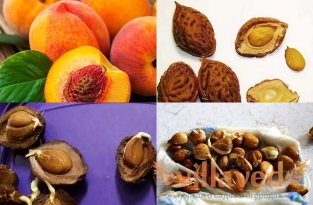 Выращивание персика из косточки