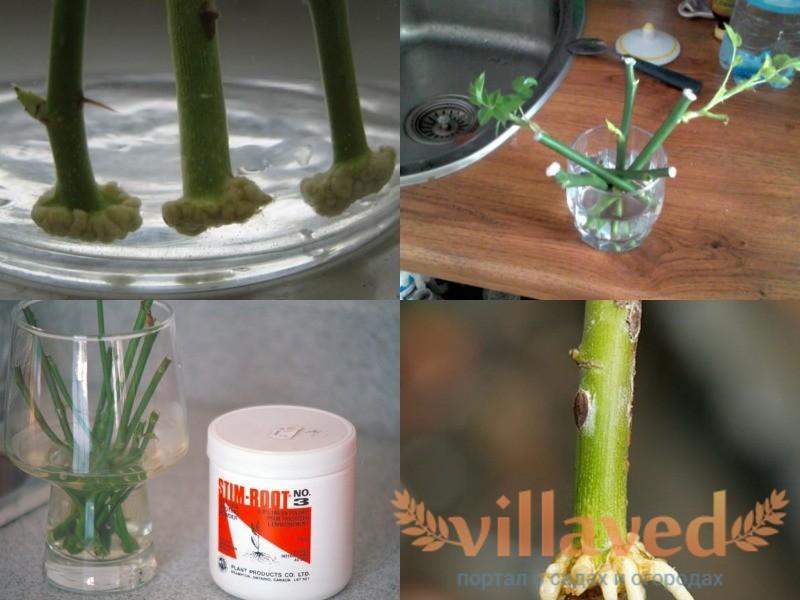 Как укоренить черенки розы в воде