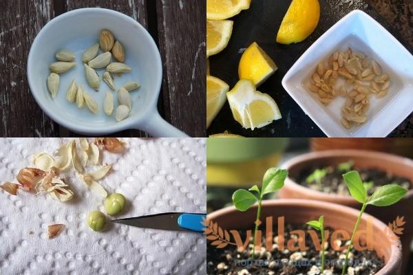 Как подготовить косточки лимона к посадке