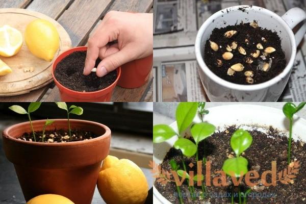 Как посадить косточки лимона