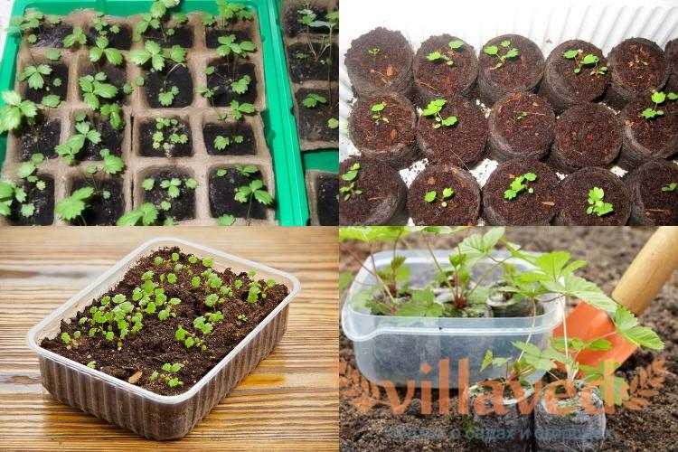 Как сеять клубнику на рассаду