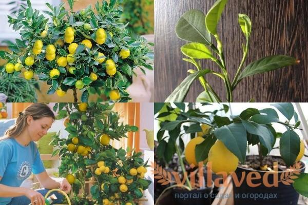 Как подкармливать лимон