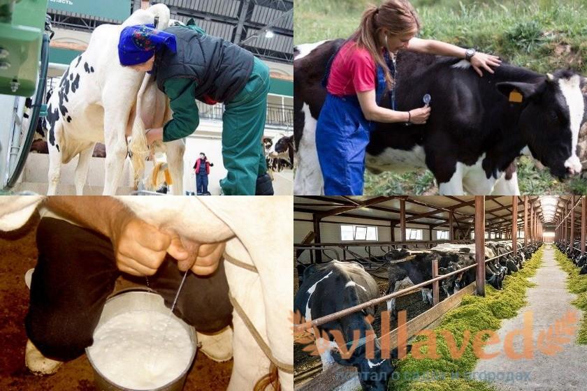 Мастит у коров профилактика
