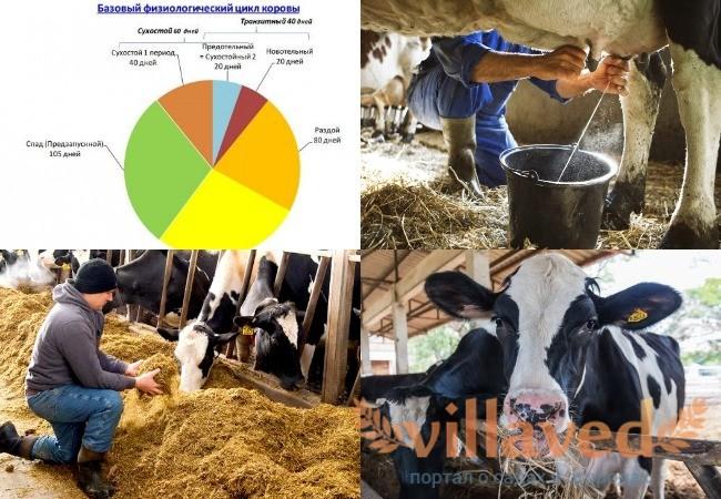 Как перевести корову на сухостой