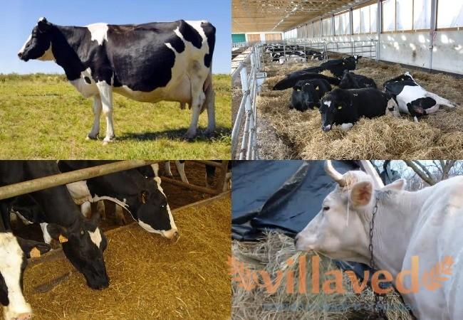 Как кормить сухостойную корову